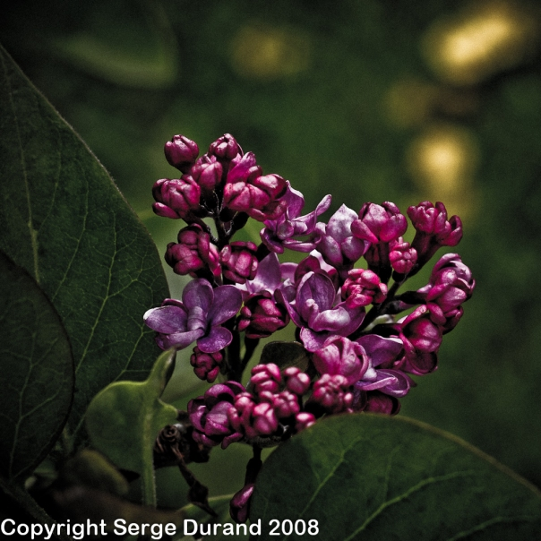 lilas liac with Canon EF 50 mm
