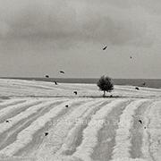 arbre corbeaux champs